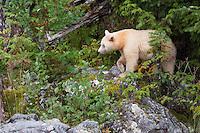 """Kermode """"Spirit"""" Bear walking over rocks through the brush"""