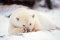 polar bear, Ursus maritimus, resting on the pack ice of the frozen coastal plain, 1002 area of the Arctic National Wildlife Refuge, Alaska, polar bear, Ursus maritimus