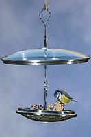 """Blaumeise, Blau-Meise, Meise, Meisen, Cyanistes caeruleus, Parus caeruleus, blue tit, La Mésange bleue. Futterhäuschen, Futterplatz aus Topfdeckel, Topfdeckeln, Kochtopfdeckeln selber basteln, einen attraktives Vogelfutter-Häuschen aus ausgedienten Topfdeckeln und einer Etagere basteln. Vogelfutter selbst herstellen, Vogelfutter selber machen, Vogelfutter selbermachen, Vogelfütterung, Fütterung, bird's feeding, """"upcycling, Wiederverwertung"""""""