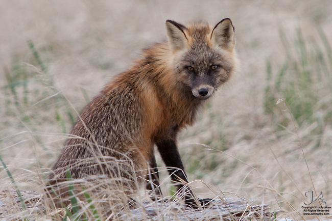 Red Fox in a pensive moment in Katmai National Park, Alaska