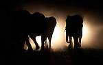 Herd of African Elephants (Loxononta africana) caught in the headlights of a vehicle on the road outside Mfuwe village on the outskirts of South Luangwa National Park, Zambia.