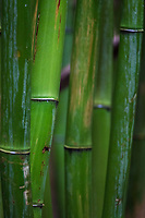 A close-up of bamboo in a bamboo forest, Haleakala National Park, Kipahulu, Maui.