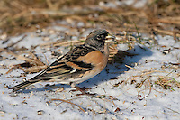 Bergfink, Berg-Fink, Männchen im Schlichtkleid, an der Vogelfütterung, Fütterung im Winter bei Schnee, frisst Körner am Boden, Winterfütterung, Fringilla montifringilla, brambling, Pinson du Nord