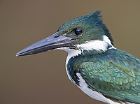 This female kingfisher perched on the bow of our boat.