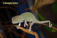 CH46-577z  Veiled Chameleon just hatched young, Chamaeleo calyptratus