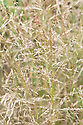 Agrostis capillaris, early July. Commonly known as Common bent, Colonial bent, or Browntop.