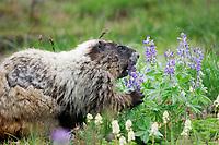 Hoary marmot (Marmota caligata) eating broadleaf lupine (Lupinus latifolius) wildflowers in subalpine meadow, Mount Rainier National Park, Washington State, USA