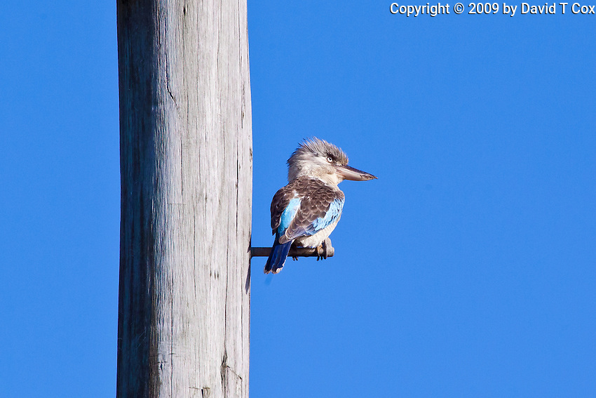 Blue-Winged Kookaburra, Mareeba Wetlands, Queensland, Australia