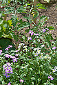 Stocks 'Virginia Mixed' grown as companion plants in front of courgettes and tomatoes, mid June.
