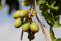 BURKINA FASO, Dorf Sesuala bei Pó , Karite oder Shea Nuesse am Baum - BURKINA FASO, village Sesuala near Pó , shea nuts of shea tree