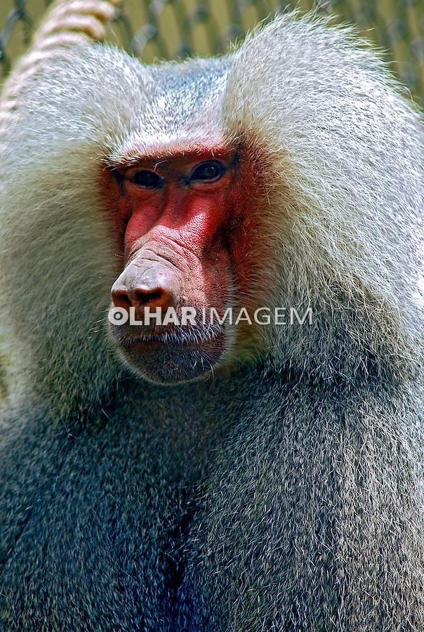 Animais. Mamiferos. Primatas. Macacos Babuíno ( Papio hamadryas). Foto de Luciana Whitaker.