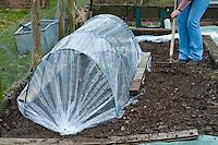 Lettuce growing in a polythene tunnel cloche in a garden, Lancashire.