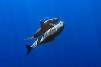 pygmy killer whales mating, Feressa attenuata, off Kona Coast, Big Island, Hawaii, Pacific Ocean..
