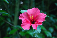 Hibiscus Flower in the Gardens at The Last Resort, Nepal