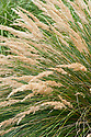 Merxmuellera macowanii, early July. A tufted perennial mountain grass from Africa that takes its name from Hermann Merxmueller, a German botanist and taxonomist