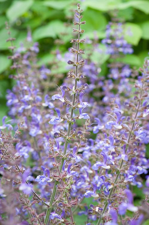 Indigo woodland sage (Salvia forskahlei), mid June. Alternative spellings of the botanical name include Salvia forskaohlei, Salvia forsskaolii.