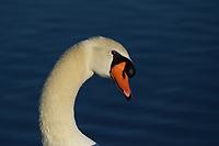 Mute Swan, San Angelo