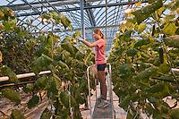 Amérique/Amérique du Nord/Canada/Québec/Montréal: Lufa Farms Inc:la ferme ou Mohamed Hage produit seize variétés de tomates,  salades , légumes dans les conditions du bio. Lufa Farms Inc dans  un quartier excentré de Montréal: Ahuntsic Cartierville [Non destiné à un usage publicitaire - Not intended for an advertising use]