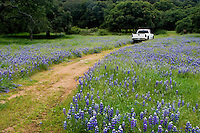A Chevy pick up truck drives through wildflowers on a cattle ranch in the Coastal Mountain Range of Monterey County - CALIFORNIA.