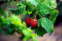 Akala (Rubus), an endemic raspberry plant, Hualalai, Big Island