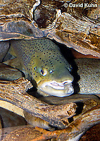 """1215-0904  Brown trout or Sea trout Hiding Under Log, (Salmo trutta fario) """"Introduced species to the United States from Europe"""" © David Kuhn/Dwight Kuhn Photography"""