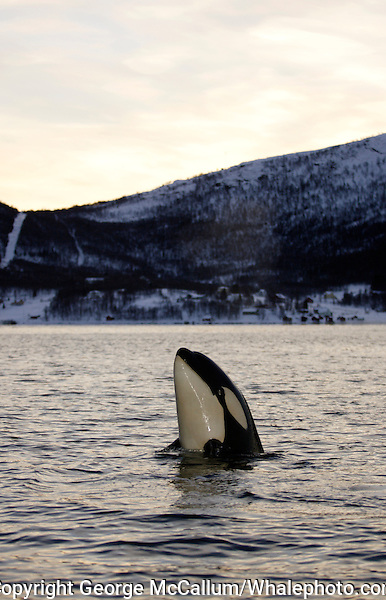Spyhopping  Killer whale calf, Orcinus orca, Tysfjord, Arctic Norway, North Atlantic