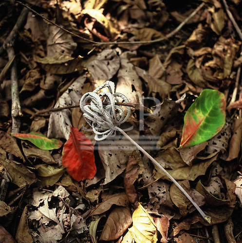 Amazon, Brazil. Leaf litter of Cecropia sp. on the forest floor.