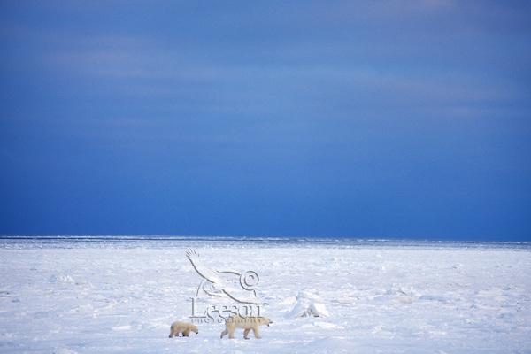 Polar bears (Ursus maritimus)--sow with cub walking across Hudson Bay winter landscape.