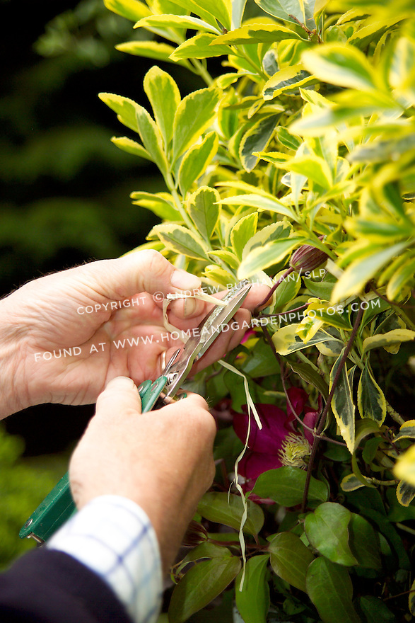 British gardener, Raymond Evison, of the Guernsey Clematis Nursery, ties a clematis vine to the branches of  a shrub in a mixed container.