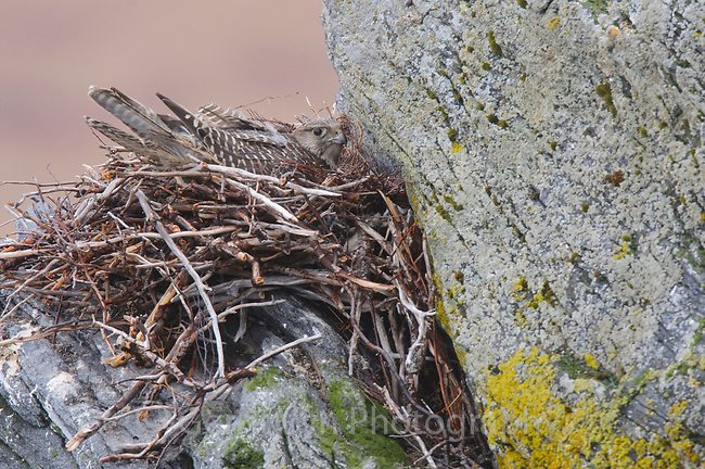 Adult female brown-morph Gyrfalcon (Falco rusticolus) brooding chicks on a nest. The nest was built in previous seasons by a Rough-legged Hawk and/or Common Raven. Seward Peninsula, Alaska. May.