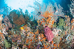 Misool, Raja Ampat, Indonesia; Daram area, an aggregation of Regal Demoiselle and glassfish swimming amongst colorful sea fans, barrel sponges and soft corals