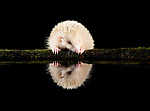 Pictured:  An albino hedgehog reflected in the pool.<br /> <br /> Animals reflect perfectly off water in the British countryside as they enjoy a late-night drink.  A red squirrel, a badger, and a rare albino hedgehog produced mirror images when they sipped the water in darkness.<br /> <br /> HR worker Dan Knight, patiently waited in a hide from 5.30pm to 3am to capture the photographs taken at a shallow reflection pool in Dumfries and Galloway, Scotland.  SEE OUR COPY FOR DETAILS.<br /> <br /> Please byline: Dan Knight/Solent News<br /> <br /> © Dan Knight/Solent News & Photo Agency<br /> UK +44 (0) 2380 458800