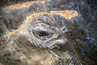 gray whale, Eschrichtius robustus, eye detail and whale lice, Baja California, Mexico, Pacific Ocean