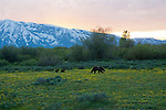 Grizzly 610's two cubs follow her across a meadow in Grand Teton National Park, Wyoming at sunset.