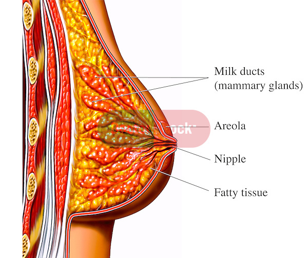 This medical exhibit pictures the primary anatomy of the breast shown from a sagittal (cut-away) view. This single image features a cut section from the deep chest wall out to the nipple illustrating the ribs, intercostal muscles, major and minor pectoralis muscles, breast fatty tissue, milk ducts (mammary glands), areola, nipple and skin.