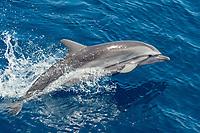 Striped Dolphin, Stenella Coeruleoalba, porpoising, Maldives, Indian Ocean