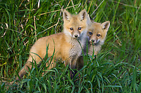 Pair of Red Fox kits standing in some tall grass