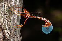 A female Giant Ichneumon wasp (Megarhyssa macrurus) oviposits into the side of a tree.