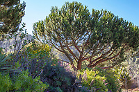 Pinus pinea,  Italian stone pine tree in University of California Berkeley Botanical Garden