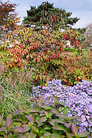 Autumn fall garden of Aster oblongifolius Raydon's Favorite similar to October Skies, Viburnum in berry and Pennisetum ornamental grass seed heads, blue sky aka more properly Symphyotrichum oblongifolium