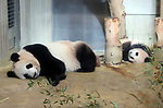 December 18, 2017, Tokyo, Japan - Female giant panda cub Xiang Xiang (R) sleeps beside her mother Shin Shin at a press preview at the Ueno Zoological Gardens in Tokyo on Monday, December 18, 2017. The zoo will put Xiang Xiang, born in June from her mother Shin Shin, on display for public from December 19.    (Photo by Yoshio Tsunoda/AFLO) LWX -ytd-