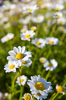 Daisies in the flower garden at the Golden Heart Plaza, downtown Fairbanks.