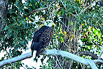 Bighorn River  Fort Smith Montana, Eagle