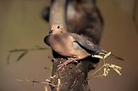 Mourning Dove (Zenaida macroura marginella), male at the Riparian Preserve at Water Ranch, Gilbert, Arizona.