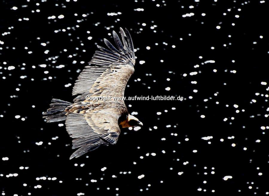 Gaensegeier: SPANIEN, KASTILIEN LEON, SEPULVEDA, 08.08.2011: Der Gaensegeier , Gyps fulvus,  ist ein grosser Vertreter der Altweltgeier Aegypiinae,  Stichworte  1 animal, 1 Tier, Aas, animal, animals, Ansicht, ausgebreitete Fluegel, ausgestreckt, ausgestreckte, Fluegel, bird, bird's eye view, bird's-eye view, birds,  ein Tier, einzelne,Tiere, einzelnes, Tier, Einzeltier,  Europa, europaeisch, Europe, European,  fauna, fliegen, fliegend, fliegende, fliegender, fliegendes, fliegt, flies, flight, Fluegel, ausgebreitet, Flug, flying, Geier, gleiten, gleitend, gliding,  Greifvogel, horizontal format, im Flug, Oberseite, Querformat, segeln, segelnd, Segelflug,  single, animal, single, animals, Sepulveda, South Europe, South European, Southern Europe, Spain, Spanien, spanisch, Spanish, Suedeuropa, suedeuropaeisch, Thermik, Tier, Tiere, Voegel, Vogel, Vogelperspektive, wild animal ,wild animals, wildlife, Wildtier, Wildtiere, wings outstretched, Winglet, Feder, Schnabel, Spitz, Hoces del Duraton, Rio Duraton, .c o p y r i g h t : A U F W I N D - L U F T B I L D E R . de.G e r t r u d - B a e u m e r - S t i e g 1 0 2, .2 1 0 3 5 H a m b u r g , G e r m a n y.P h o n e + 4 9 (0) 1 7 1 - 6 8 6 6 0 6 9 .E m a i l H w e i 1 @ a o l . c o m.w w w . a u f w i n d - l u f t b i l d e r . d e.K o n t o : P o s t b a n k H a m b u r g .B l z : 2 0 0 1 0 0 2 0 .K o n t o : 5 8 3 6 5 7 2 0 9. V e r o e f f e n t l i c h u n g  n u r  m i t  H o n o r a r  n a c h M F M, N a m e n s n e n n u n g  u n d B e l e g e x e m p l a r !...