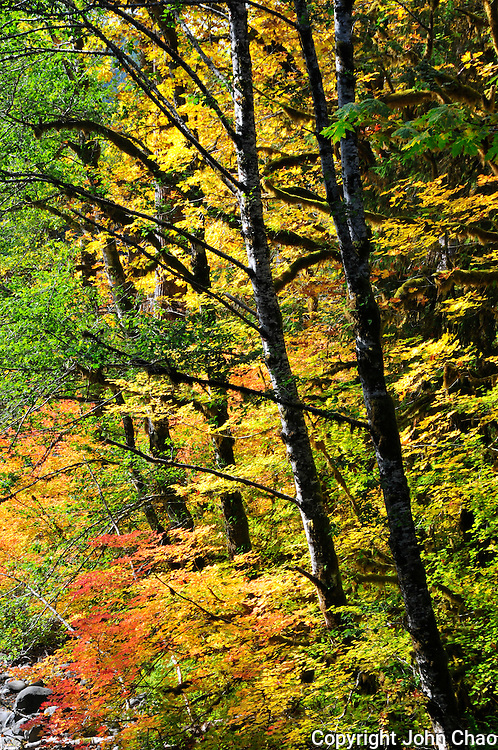 Backlit Alder and Vine Maples in Sol Duc River Valley, Olympic National Park, Washington State