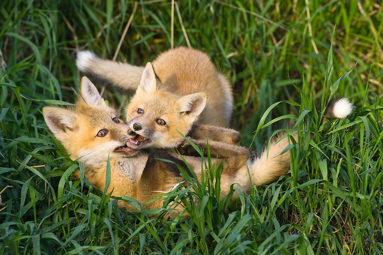 Pair of Red Fox kits (vulpes vulpes)  play fighting in some tall grass near Mayerthorpe, Alberta, Canada