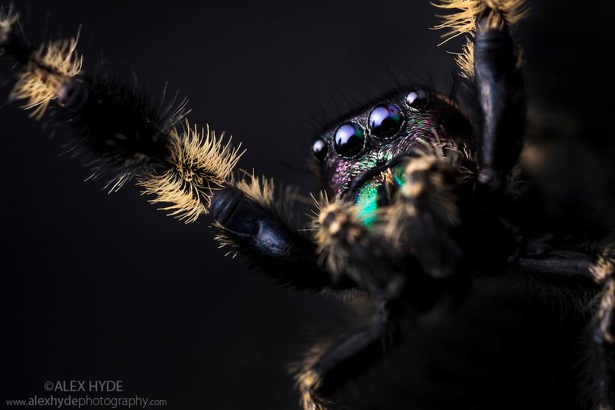 Canopy Jumping Spider male {Phidippus otiosus}, captive, orginating from North America. Size < 1cm website