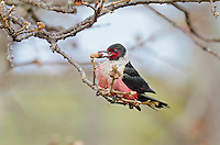 Lewis's Woodpecker (Melanerpes lewis) harvesting acorn in top of 60 foot oak tree.  Pacific Northwest.  March.
