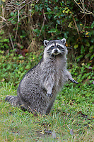 Raccoon (Procyon lotor) standing on hind legs.  Pacific Northwest.  Fall.